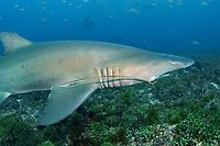 sand tiger shark, grey nurse shark, spotted ragged-tooth shark, Carcharias taurus, this species is endangered in Australia due to fishing pressures and this one has a fish hook in its mouth and trailing fishing line, Nine Mile Reef, Tweed Heads, New South Wales, Australia, South Pacific Ocean