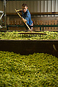 05/09/16<br /> <br />   ***WITH VIDEO***<br /> <br /> British hop farmers have reason to celebrate as a resurgence in craft and real ale brewing means demand for the little green flower, an essential ingredient in beer, has risen almost ten percent this year.<br /> <br /> FULL STORY HERE:  <br /> <br /> https://fstoppressblog.wordpress.com/bumper_season_for_hops/<br /> <br /> It's the first time in 15 years that growers have had to increase the number of crops planted to meet demand.<br /> <br /> The additional yield being harvested right now at one the UK's biggest hop farms will go toward making an extra 3.7 million pints of beer – a great reason to raise a glass and celebrate the success of this traditional British crop.<br /> <br /> And what's more, it's been a fantastic year for hops, despite a rather worrying and damp start to the growing season. <br /> <br /> All Rights Reserved, F Stop Press Ltd. +44 (0)1773 550665