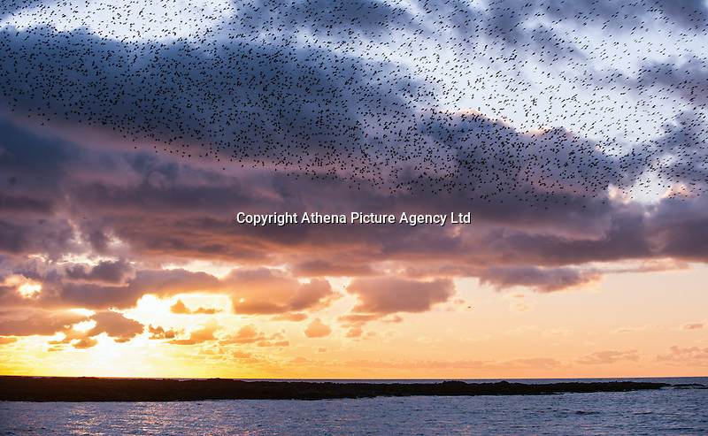 Aberystwyth, Wales, UK 24th February 2016.  UK Weather: The starlings fly against a dramatic sky to return to their nightly roost under the victorian pier nearby just before sunset. A lone bird watcher stands at the end of the pier watching as they dance above during the sunset after another gorgeous day by the seaside.