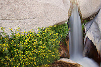 Wildflowers and a stream flows through Sacatone Canyon in the Newberry Mountains along Christmas Tree Pass Road, Lake Mead Recreation Area, near Laughlin, Nevada