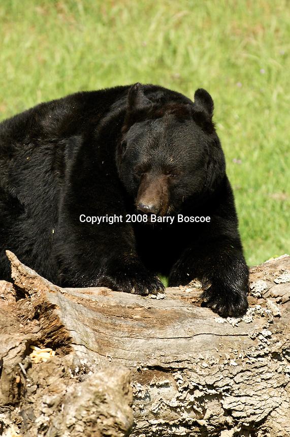 Full grown Black bear climbing over a dead log in Yosemite, Calif.