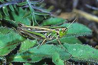 Kleiner Heidegrashüpfer, Kleiner Heide-Grashüpfer, Weibchen, Stenobothrus stigmaticus, Lesser mottled grasshopper, female