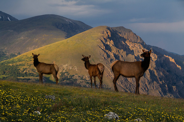 Elk at sunset along Trail Ridge Road, Rocky Mountain National Park, Colorado.<br />