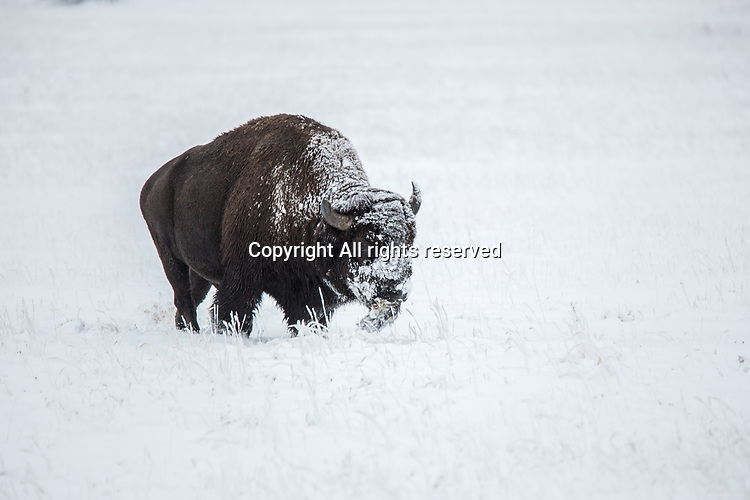 A bison walks in the snow in Yellowstone.