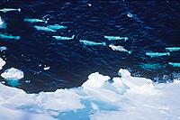 beluga whale, or white whale, Delphinapterus leucas, floe edge, Canada, Arctic Ocean