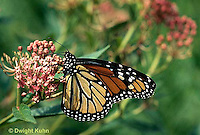 MO01-002z  Monarch Butterfly - adult on milkweed - Danaus plexippus