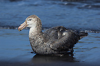 Southern Giant Petrel resting on the beach at Heard Island, Antarctica