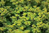 Golden Saxifrage (Chrysosplenium), Mouse Water
