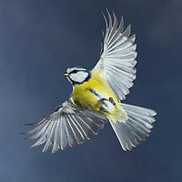 Blaumeise, im Flug, Flugbild, fliegend, Blau-Meise, Meise, Meisen, Cyanistes caeruleus, Parus caeruleus, blue tit, flight, flying, La Mésange bleue