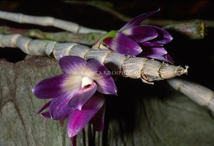 Dendrobium victoria-reginae orchid species endemic to the Philippines