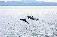 common bottlenose dolphin, Tursiops truncatus, mother and calf, leaping, Santa Rosalia, Baja California Sur, Mexico, Gulf of California, Sea of Cortez, Pacific Ocean