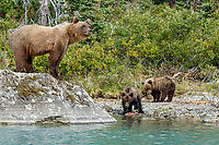Alaska Brown bear sow stands on rock as she watches over her two cubs along the lake shore at Crescent Lake in Lake Clark National Park, Alaska.  Summer<br /> <br /> Photo by Jeff Schultz/  (C) 2019  ALL RIGHTS RESERVED