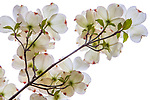 Dogwood branch in bloom, Seattle, Washington, USA