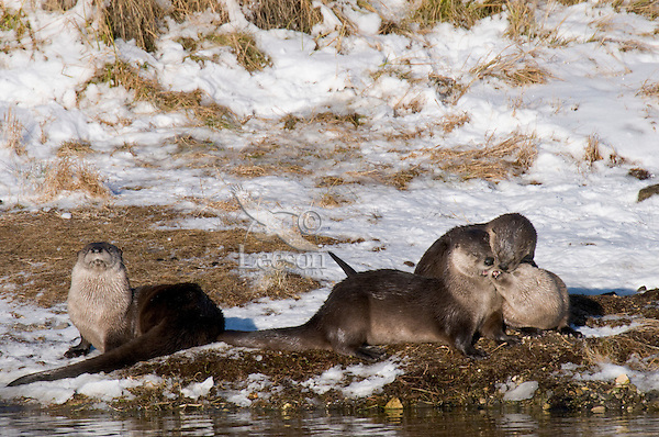 Northern River Otter (Lontra canadensis) playing along river bank.  Winter.