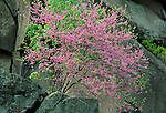 Redbud tree in Bloom, Gettysburg National Military Park, Pennsylvania, USA