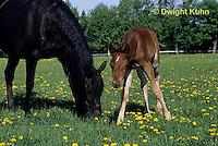 SH08-010z  Arabian Horse - mare with foal
