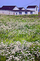 Field of white flowers, Nova Scotia; Canada; building; buildings