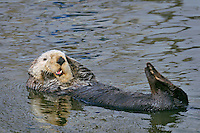 Sea Otter (Enhydra lutris) grooming.  Sea otters spend much of their time cleaning and grooming their fur to maintain its insulatiing values.  They often groom after eating and upon waking from a nap.