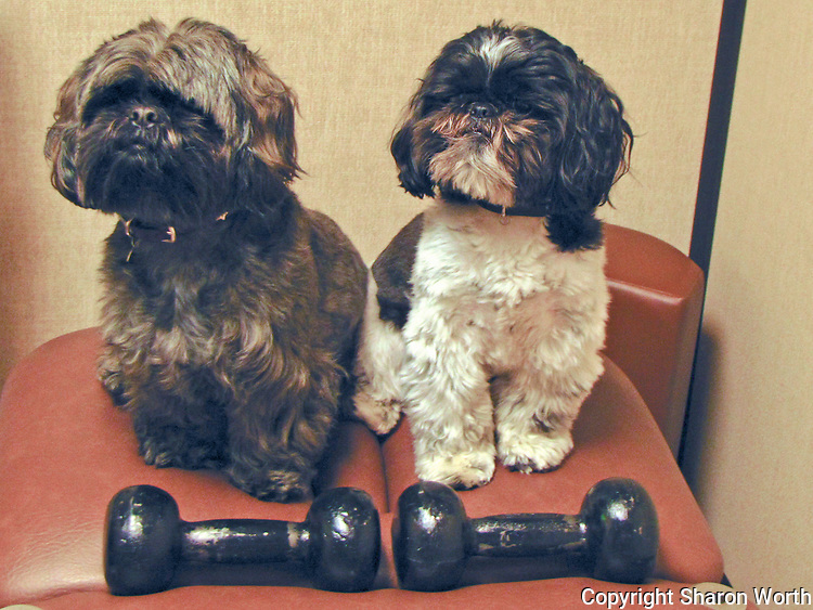 Jaz Pants and Lumpkin, an adult Shih Tzu and a pup, posing with weights that may look a little like bones, but they know better.