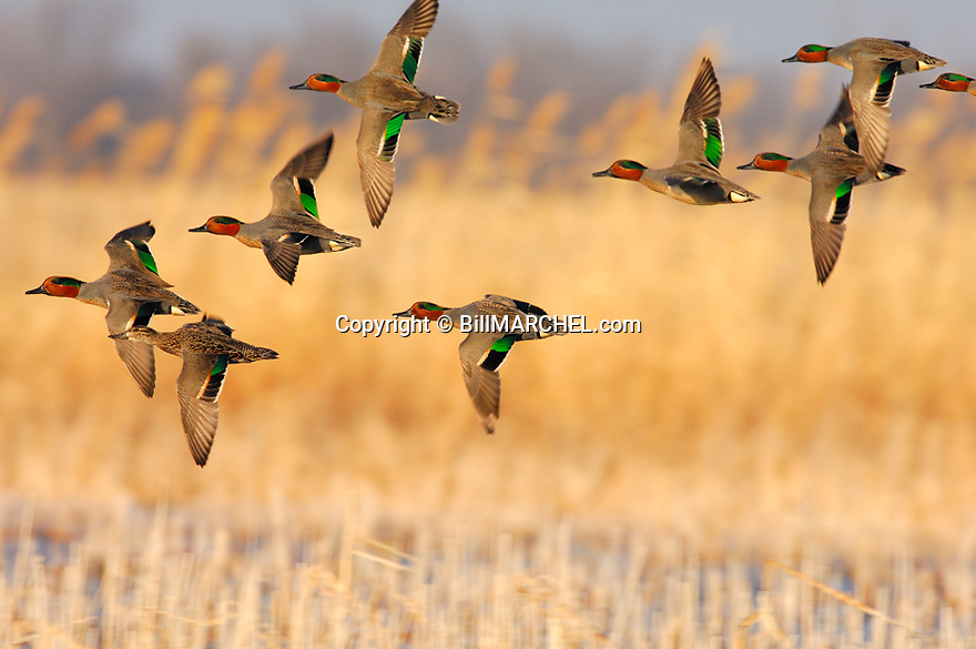 00310-014.09 Green-winged Teal Duck (DIGITAL) flock in flight low over the water of a marsh.  Hunt, fly, courtship, action, wetland.  H1L1