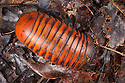 Pill Millipede {Glomeridae} in tropical rainforest. Danum Valley, Sabah, Borneo, Malaysia.