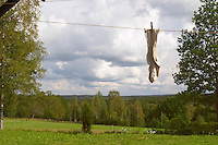 A pair of socks hanging to dry on a clothes line with clothes pins a summer day with clouds in the sky. Smaland region. Sweden, Europe.