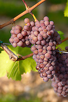 pinot gris domaine gerard neumeyer alsace france