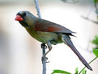 Adult female northern cardinal