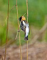 Adult male bobolink inbreeding plumage