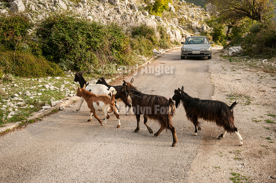 Livestock along and on the road to Verbanje above Krusevice, Montenegro