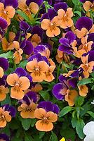 Viola 'Sorbet Orange Duet' pansies