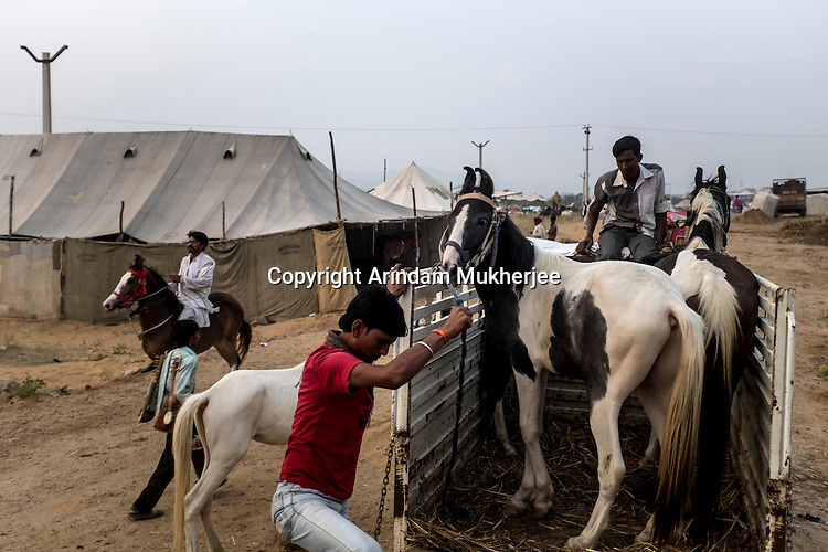 Horses arive by a small truck to Pushkar fair ground.  Rajasthan, India.