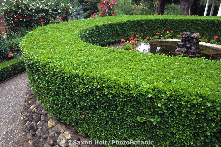 Well pruned formal hedge - Buxus sempervirens