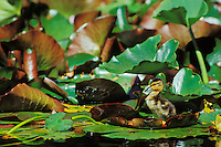 Mallard duck duckling on lily pad