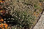 LAGURUS OVATUS 'BUNNY TAILS', HARE'S TAIL GRASS