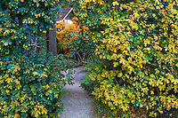 Portal path entry cut through Hedge maple - Acer campstre tall privacy hedge in fall color in Gary Ratway garden