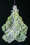Kale, multiple exposure of one kale leaf on black background.