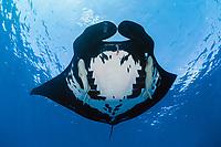 giant oceanic manta ray, Mobula birostris, formerly Manta birostris, with remoras, suckerfish, Remora remora, San Benedicto, Revillagigedo (Socorro) Islands, Mexico, East Pacific Ocean