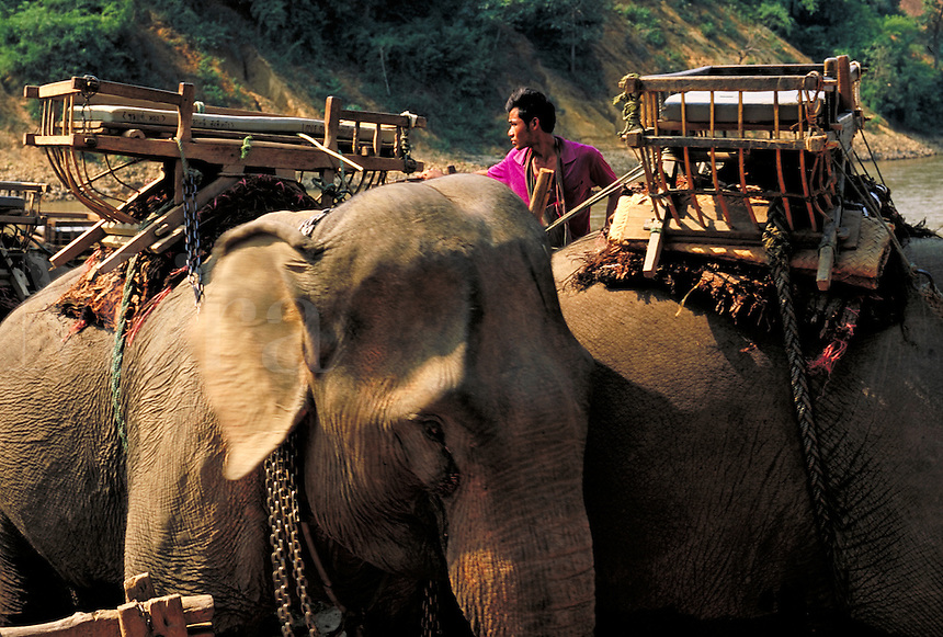 A Thai man prepares elephants for riding by saddling them with platforms. Remote village near Burma. Jungle. Thailand North of Chiang Mai near Burma.
