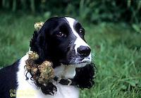 BD05-005z  Burdocks - burdock seeds on dog, seed dispersal - Arctium minus  ©David Kuhn/Dwight Kuhn