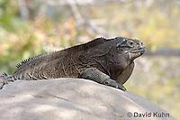 0628-1105  Anegada Ground Iguana (Stout Iguana), Cyclura pinguis  © David Kuhn/Dwight Kuhn Photography