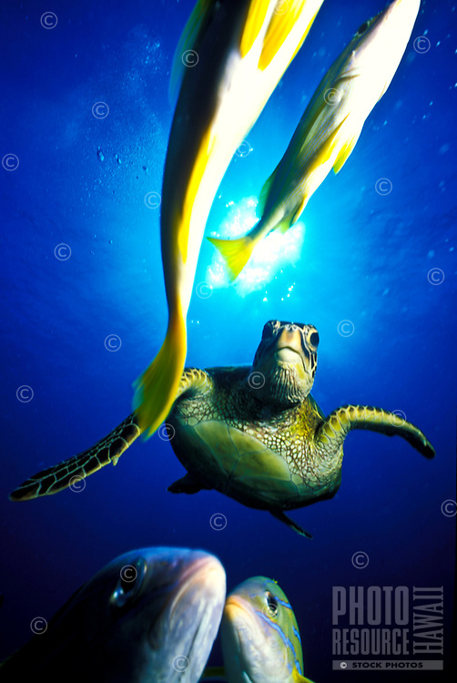 """Green Sea Turtles, also known as """"""""Honu"""""""" are commonly seen in Hawaii's warm ocean waters."""