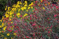 Calliandra californica - Zapotillo or Baja Fairy Duster California native shrub flowering with Encelia californica, Brittlebush in Leaning Pine Arboretum, California garden