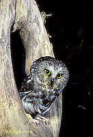 OW02-253b   Saw-whet owl - at nest cavity- Aegolius acadicus