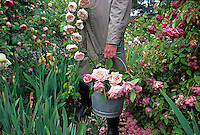 Harvesting a bucket of Rose 'Maman Cochet'