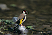 European Goldfinch, Carduelis carduelis , adult singing, Scrivia River, Italy, May 1997