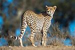 Female Cheetah (Acinonyx jubatus) patrolling territory. Long Gully near Ndutu, Ngorongoro Conservation Area, Tanzania. April 2015