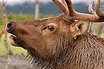 A close-up of a bull elk bulging.