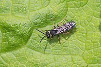 Grabwespe, Kuckuckswespe, Kuckucks-Wespe, Nysson cf. spinosus, large-spurred digger wasp, large-spurred digger wasp, Crabronidae