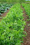 Monticello. Thomas Jefferson estate vegetable garden. Pea 'Champion of England'